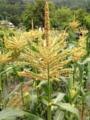 [畑][風景]トウモロコシの雄花