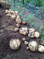 [畑][風景]ジャガイモ収穫