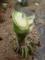 トウモロコシの茎