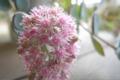 多肉ちゃんの花