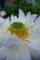 蓮の花、大船植物園