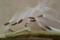 カンガルーポケットの種