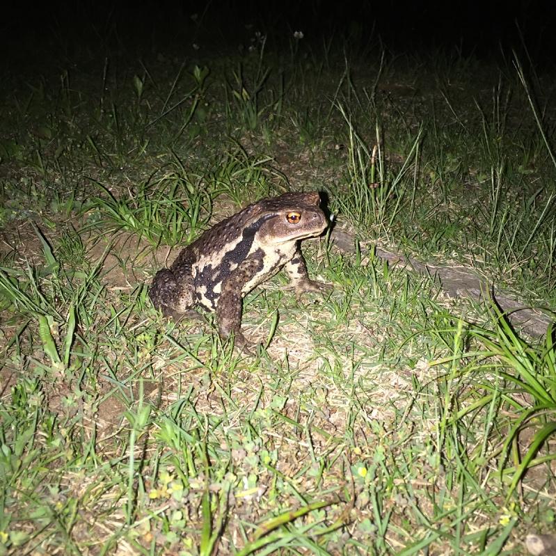 夜中のカエル