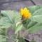 ひまわり、新しい花