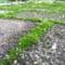 敷石の目地に生える苔