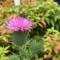 アザミの花