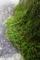 ベランダの苔