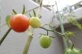 にゃにゃミニトマト