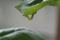 バジルの尺取虫(大、緑)