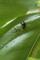 バジルの尺取り虫の糞