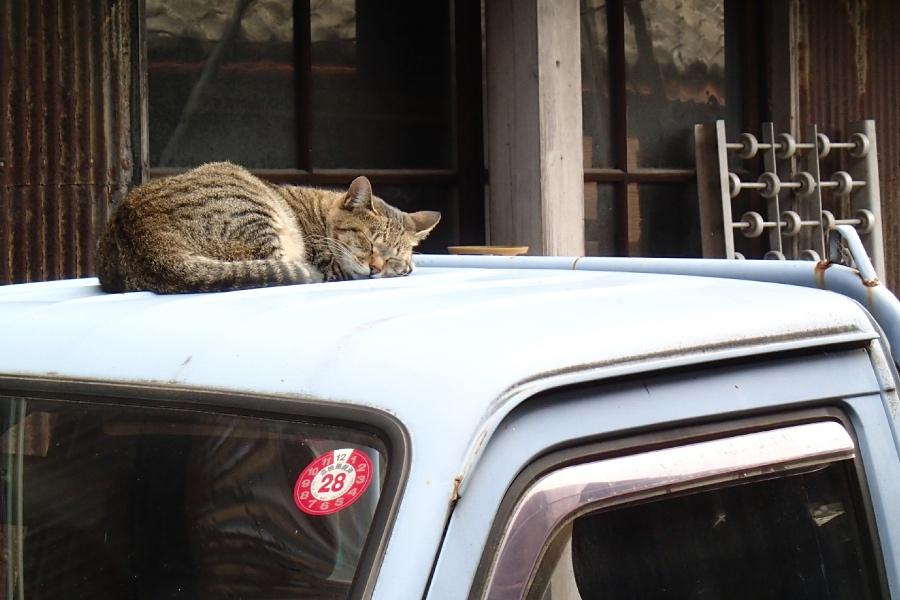 常滑、昼寝猫
