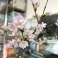 桜が咲き出した