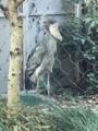 上野動物園、ハシビロコウ