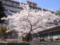 六本松跡地 中庭の桜