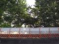 九州大学六本松跡地 スモモ