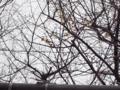 ロウバイ 2013.1.13 六本松跡地
