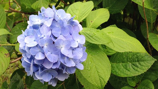 ajisai-blue