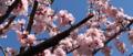 [さくら][桜][満開][早咲き]