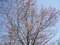 [芝][増上寺][港区][東京タワー][桜][さくら][満開]