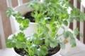 [パクチー][コリアンダー][香菜][栽培][育て方][カメムシ草]パクチー栽培