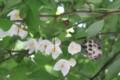 [花]エゴの木