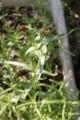 [花]かすみ草