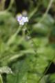 [花]忘れな草