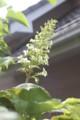 [花]カシワバアジサイ