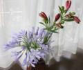 [花]アガパンサスとアルストロメリア