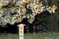 [花]八重桜