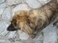 [犬][リラ]リラの僧院にいた犬:Rila Monastery, BULGARIA 2006/09/20