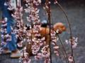 「京都新聞写真コンテスト」 桜のカーテン