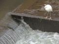 恩田川にいたコサギ