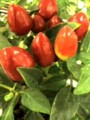 トウガラシ赤 ミニ