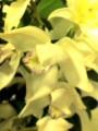 シンビジウム白接写0903