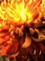 マムシックオレンジ接写0903