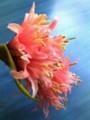 ダイヤモンドリリーピンク水色バック090402