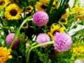 センニチコウピンクのある花 ミニ