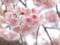 熱海早咲き桜