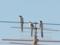 電線に♪オナガが三羽とまってた♪