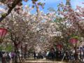 [風景]造幣局桜の通り抜け