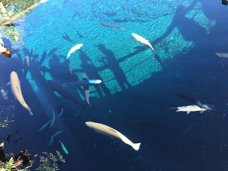 富士の清澄な神の泉が湧き出す湧水池「忍野八海」
