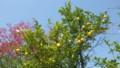 瀬戸田ならではの街路樹