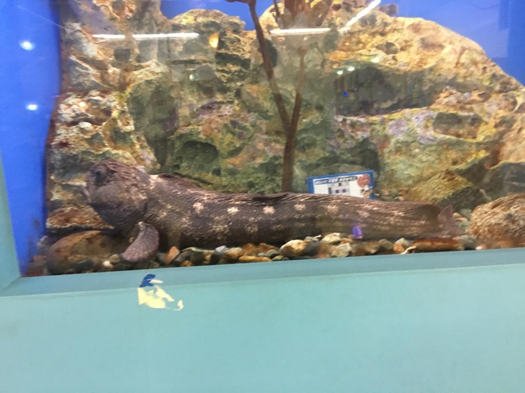 まちなか水族館 山椒魚水槽