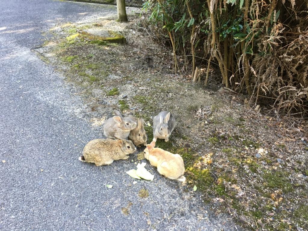 大久野島 北部砲台跡 キャベツを食べるうさぎ達