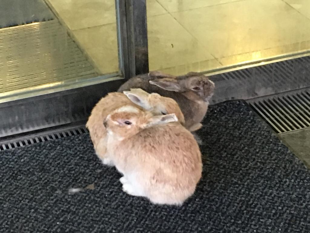 休暇村大久野島 入口で寒さをしのぐウサギ