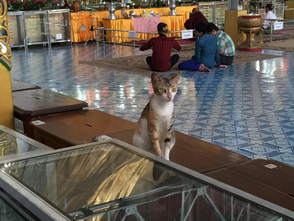 ミャンマー チャウタッジー・バゴタ 凛々しい猫