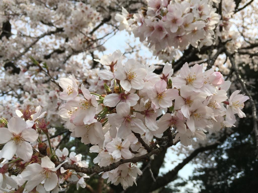 新宿御苑 桜 満開 接写