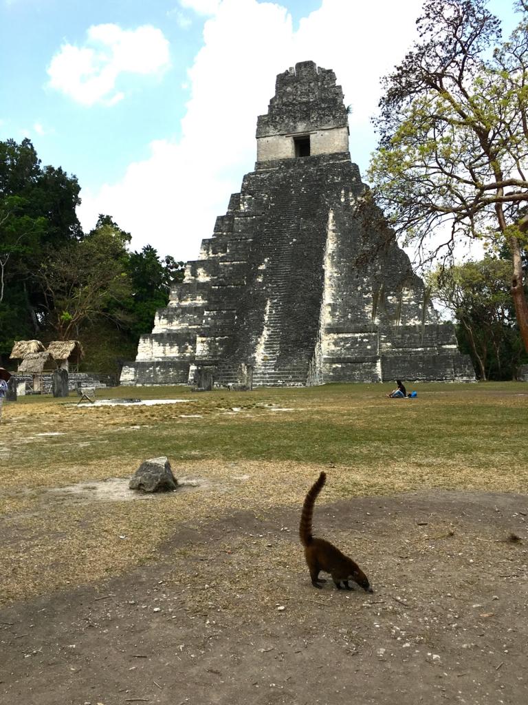 ティカル国立公園観光 1号神殿とハナグマ