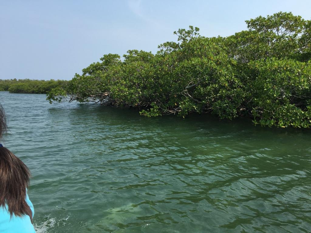 ベリーズシティ ゴフ島へ マングローブの森 通過